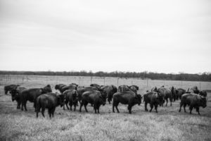 Not all grazing is the same: the many differences between holistic planned grazing and high density stock grazing