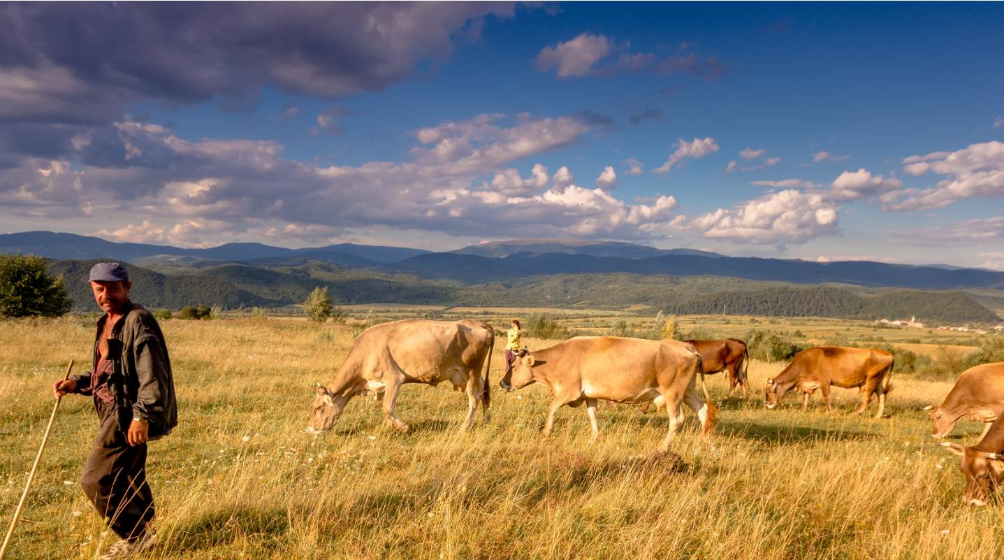 man-in-field-with-cows