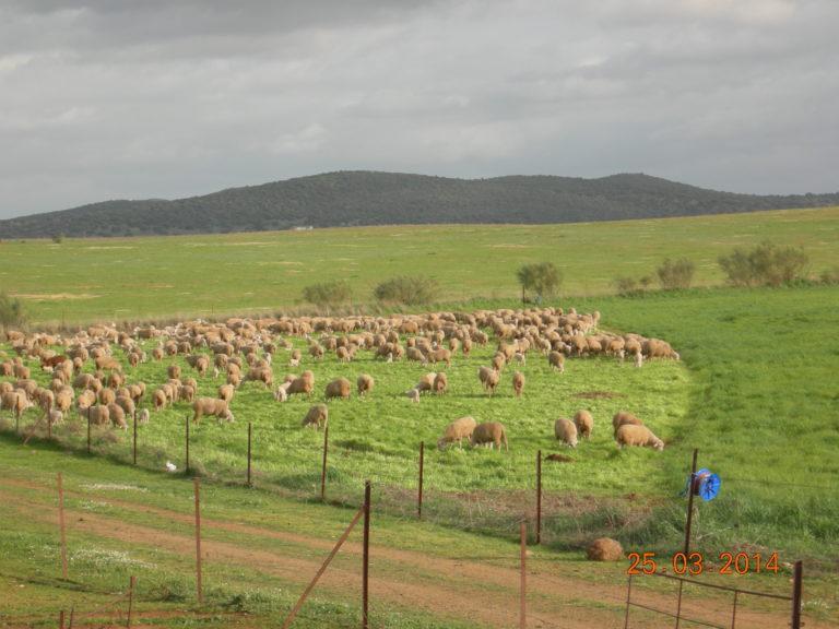 Herd effect (Mundos Nuevos Farm, Extremadura, Spain) (6)