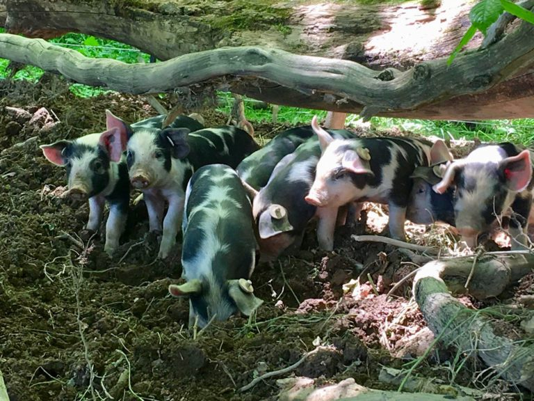 Pigs in the Woods
