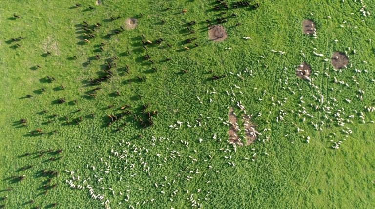next-to-jennis-bulls-sheep