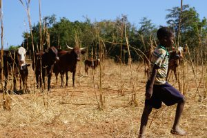 An African child walks in front of cattle