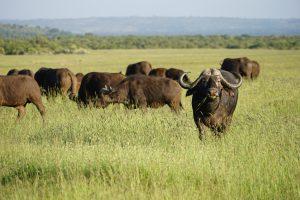 buffalo in Kenya