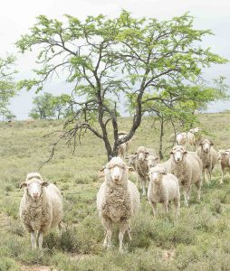 south african wool sheep