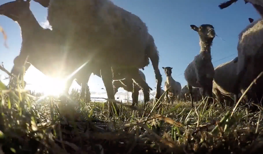 Sheep Close-up